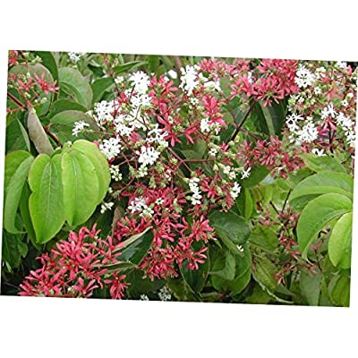 CJI 5 Seeds Heptacodium miconioides Seven SONS Flower Shrub - RK286 : Garden & Outdoor