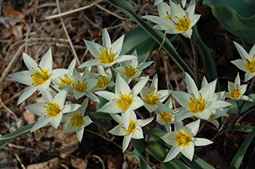 Tulip Bulbs,