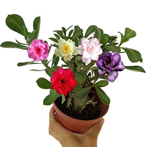 Taloyer 10Pcs Rare Desert Rose Bonsai Mixed Colors Flower Seeds Home Garden - Plant Desert Seeds Rose