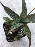 Ledebouria socialis 'Silver Squill' or 'Wood Hyacinth' - Rare Live Succulent Plant