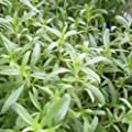 Herb Seeds - 25+ Seeds of Savory, Summer, Heirloom, Non GMO, Organic, Delicious HERB Spice