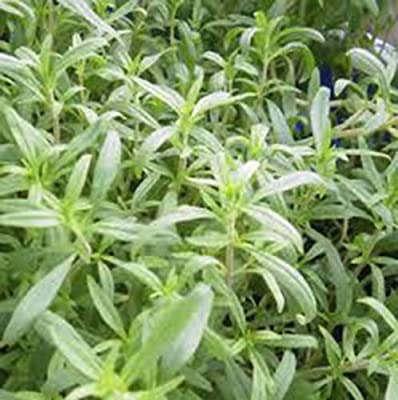 Savory, Summer, Heirloom, Non Gmo, Organic, 25+ Seeds, Delicious Herb Spice