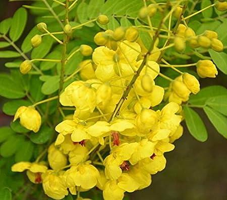 Heirloom 10 seeds cassia fistula golden shower tree tropical bonsai heirloom 10 seeds cassia fistula golden shower tree tropical bonsai bright yellow flower mightylinksfo