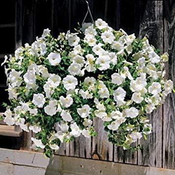 Semillas BloomGreen Co. Flor: Las semillas de la petunia Opera Supremo blanco para Poli bolsas de crecimiento de jardÃn [Semillas Home Garden Eco Pack] Semillas de la planta: Amazon.es: Jardín