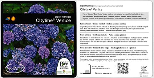 1 Gal. Cityline Venice Bigleaf Hydrangea (Macrophylla) Live Shrub, Pink, Blue and Green Flowers by Proven Winners (Image #2)
