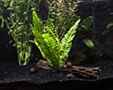Java Fern - 2 Bunches – Live Aquarium Plant by Aquatic Arts - 3 to 6 inches Tall