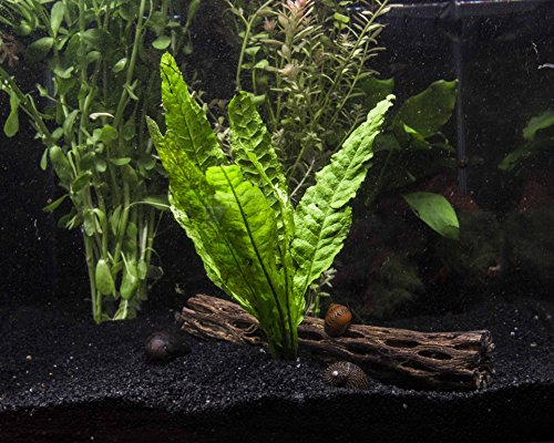 Aquatic Arts Java Fern - 2 Bunches – Live Aquarium Plant 3 to 6 inches Tall