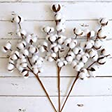 WMAOT Cotton Stems - 30' Tall - 13 Bolls/Stem Farmhouse Style Real Elastic Cotton Stalk Rustic Floral for Home Decor Wedding Centerpiece (Pack of 3)