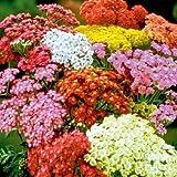 achillea millefolium - Yarrow Mix - Perennial (1500 Seeds)