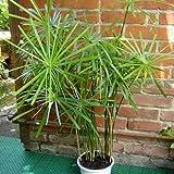 Zyperngras - Regenschirm Pflanze - Cyperus Alternifolius - Umbrella plant - 100 Samen