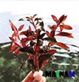 Ludwigia Peruensis Diamond Red Star Ludwigia Bundle Freshwater Live Aquarium Plant Fish Tank Decoration 3 DAYS LIVE GUARANTEED By Mainam