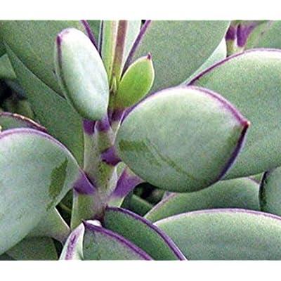 Plant- Senecio crassissimus Succulent with Purple Stem and Edging Rare : Garden & Outdoor