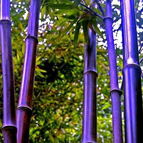 - Iekofo Seed house - 100 Pieces Exotic Hardy Bamboo Seeds 'Chinese Wonder' Red/Golden/Black / 'Blue Dragon' / Bamboo Ornamental Plants Perennial for Your Home and Garden