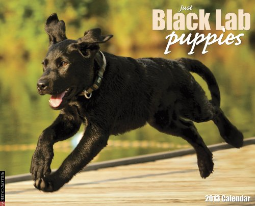 Just Black Lab Puppies - 9
