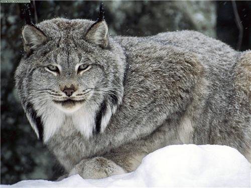 CANADIAN LYNX GLOSSY POSTER PICTURE PHOTO canada cat bobcat
