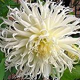 (2) Tsuki-Yori-No-Shisha Flowering Dahlia Bulbs, Plant, Root start