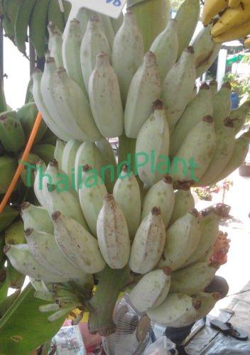 Musa ABB group MUSA BLUE JAVA ICE CREAM Banana Plant