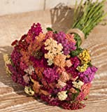 David's Garden Seeds Flower Achillea Yarrow Colorado Mix D3878A (Multi Color) 100 Organic Seeds
