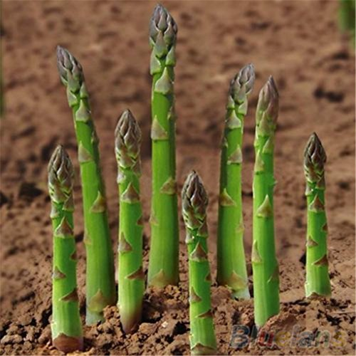super1798 20Pcs Asparagus Seeds Organic Heirloom Green Vegetable Perennial Garden Plant