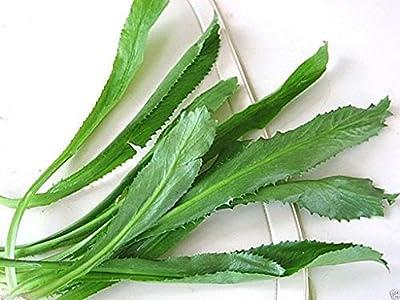 100 Seeds Culantro Seeds, Recao, A. K. A; Vietnamese Coriander, Thai Parsley, Ngo Gai, Shadon Beni
