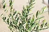 Arbequina Olive Tree - Live Plant, Includes Special