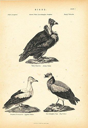 Arabian Egyptian Vultures 1877 original antique lithographed bird -
