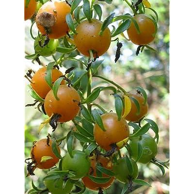 """Pereskia aculeata VARIEGATED rare plant cactus 4"""" pot V : Garden & Outdoor"""