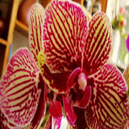 20Pcs Yellow Purple Phalaenopsis Moth Orchid Flower Plant Seed Organically Grown (Spider)