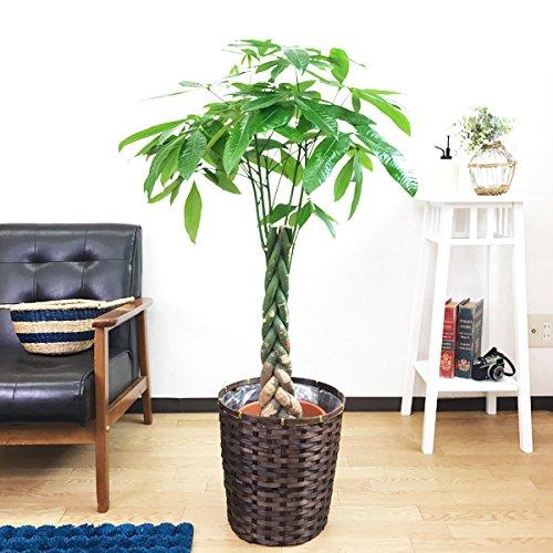 パキラ 金のなる木 観葉植物 鉢カバー付 インテリア 中型 大型 B019I3EW7G