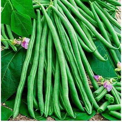 Oguine Garden-Organic Blue Lake Bush Bean, Pole Kentucky Wonder Seeds, Organic, Non-GMO, Hearty Healthy Green Bean Vegetable Seeds for Planting : Garden & Outdoor