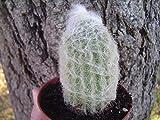 """Live""""Old Man"""" Cactus. Cephalocereus senilis Cactus. Live Rooted Succulent Plant."""