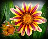 Pink & Yellow Gazania Seeds Flower Seeds Harvested Fresh in Fall FREE PACK INCLUDED