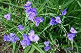 Tradescantia occidentalis - Western Spiderwort - 30 Fresh Seeds