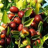 Syed Garden Coffe Arabica Seed