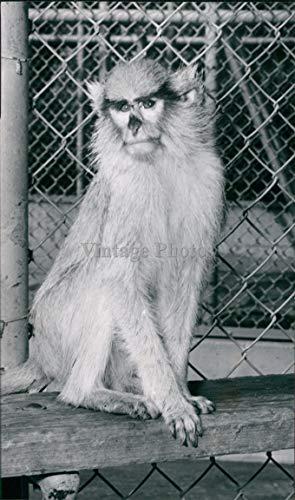 1959 Roeding Park Zoo Angelic Doglike Running Monkeys Cousins Animal Photo 4X8