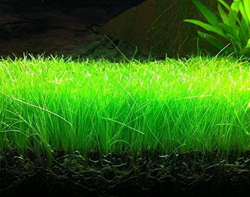 Image of Mainam Dwarf Hairgrass Easy Live Aquarium Freshwater Plants Decorations 3 Days Live Guaranteed