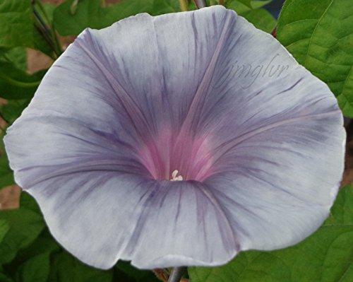 GRAY FOG Morning Glory Vine Seeds __ RARE - Pattern Deep Throat