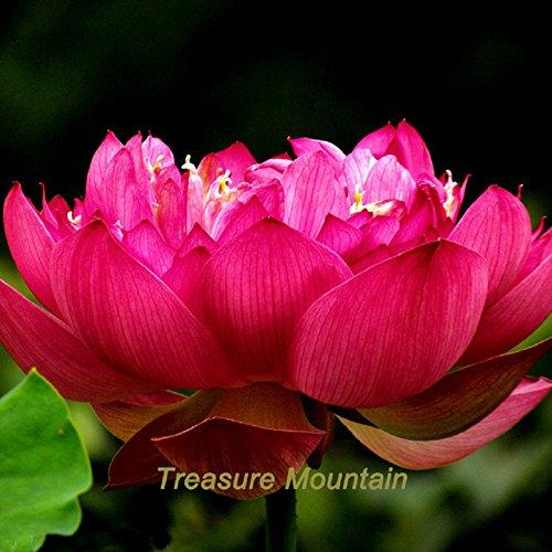 Empress Lily ('Empress Wu' Red Lotus Flower Water Lily Flower Aquatic Plants DIY)