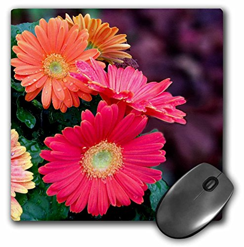 3dRose LLC 8 x 8 x 0.25 Inches Mouse Pad, Gerbera Candy Bright and Color Gerbera Daisies (mp_120403_1) Colors Of Gerbera Daisies