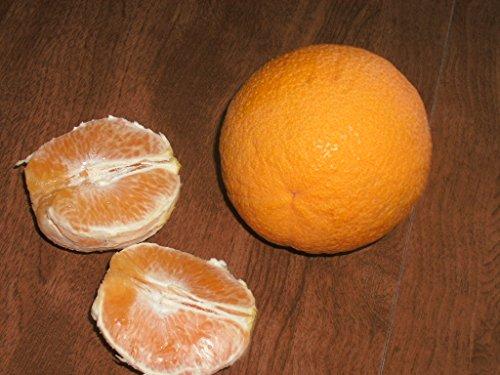 Valencia Orange Tree - 7