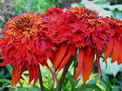 Echinacea Seeds - HOT PAPAYA - Coneflower - Deer Resistant Perennial - 15 Seeds