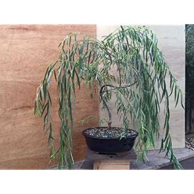 Bonsai Golden Weeping Willow Tree Cutting - Large Thick Trunk Rooited Tree Cut - Mature Bonsai Look Fast - Beautiful Arching Branches: Garden & Outdoor