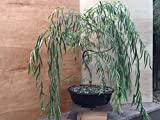 Bonsai Weeping Willow Tree - Large Thick Trunk - Mature Bonsai Look Fast - Beautiful Arching Branches