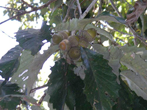 Go Garden 9034; to 18034; Tall: Swamp Chestnut Oak Trees 1-Year-Old, Bare-Root -