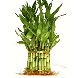 """9GreenBox - 3 Tier 4"""" 6"""" 8"""" Top Quality Lucky Bamboo For Feng Shui (Total About 38 Stalks)"""