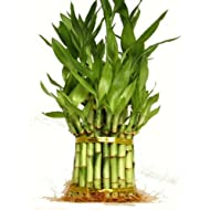 Amazon.com: Bamboo - Live Indoor Plants: Grocery & Gourmet Food