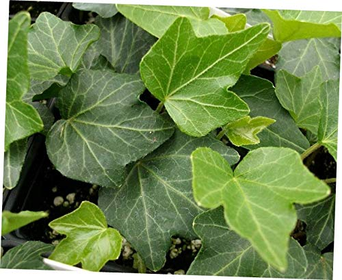 HZI 4''Pot Plant Hedera Helix Two Ivy Plants Baltic English Hardy Groundcover - RK167