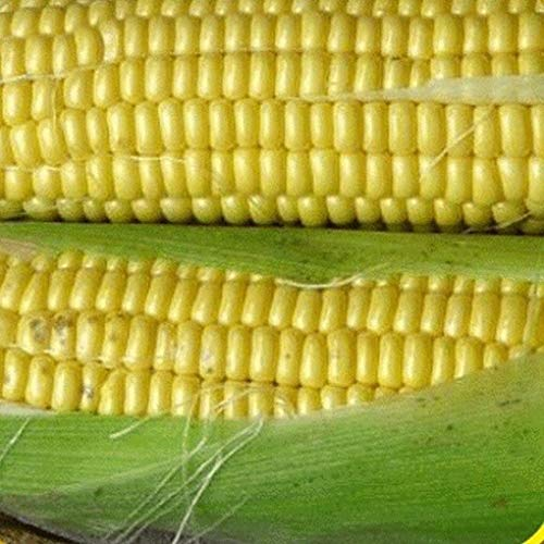 1 Oz Kandy Korn Hybrid Sweet Corn Seeds (Heirloom Garden Store) -