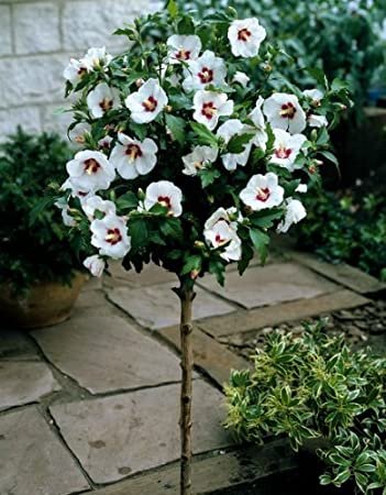 iovivo Hibiskus-Stämmchen rot-weiß: Amazon.de: Garten