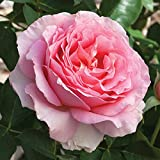 Jackson & Perkins Dr. Jane Goodall Hybrid Tea Rose - Bareroot